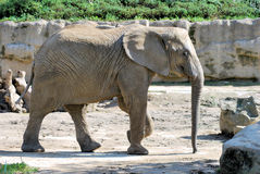Elephant. An big elephant at the Zoo stock images