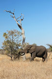 Elephant. Beautiful african elephant eating from a tree in South Africa stock photos