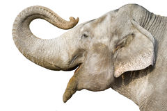Elephant. Head of elephant Royalty Free Stock Image