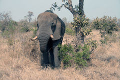 The elephant. A great elephant in Kruger National Park - South Africa Stock Image
