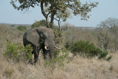 The elephant. A great elephant in Kruger National Park - South Africa Royalty Free Stock Images