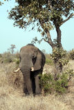 The elephant. A great elephant in Kruger National Park - South Africa Stock Images