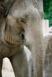 Elephant. At the zoo eating close up Stock Photos