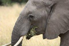 Elephant. Extreme close-up of an elephant eating Royalty Free Stock Photo