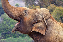 Free Elephant Royalty Free Stock Image - 11383066