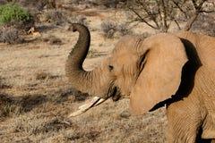 Elephant. Adult elephant with trunk raised Stock Image