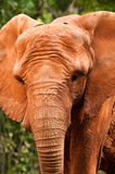 Elephant. An African elephant in nature Stock Photography