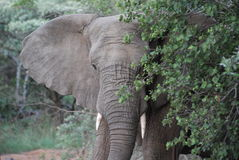 Elephant. An angry African Elephant flares her ears to discourage tourists from getting closer Stock Photos
