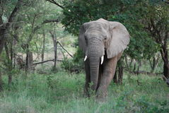 Elephant. A large African Elephant moves through the forest of South Africa Royalty Free Stock Images