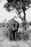 Elephant. A great elephant in Kruger National Park - South Africa in black and white Stock Photography