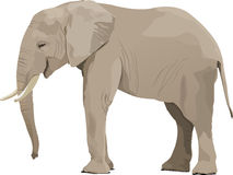 Elephant. Realistic  illustration of an elephant on the white background