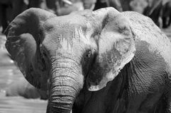 Elephant. Active African elephant head portrait with cute expression in the face in black and white in a game park in South Africa stock image