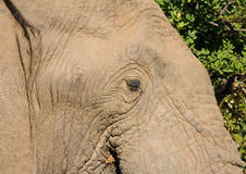 Elephant. Portrait of an elephant in the African bush Royalty Free Stock Photos