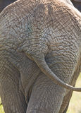 Elephant. Portrait of an elephant behind in the African bush Stock Photography
