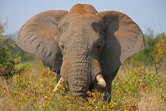 Elephant. An african elephant with flapping ears Royalty Free Stock Image