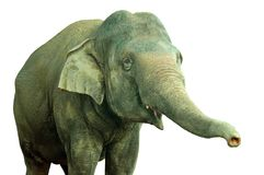 Elephant. Isolated a asian adult elephant Royalty Free Stock Photo