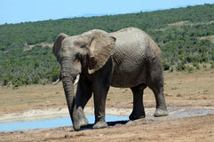 Elephant. An active big African elephant bull with big ears and tusks playing with his trunk in a game park in South Africa next to a water hole while a herd of Royalty Free Stock Image