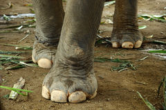 Elephant. 's feet walking on the ground Royalty Free Stock Images