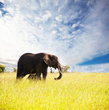 Elephant. In the Masai Mara National Park royalty free stock photography