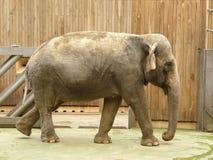 Elephant. Photo of elephant in the zoo Royalty Free Stock Photos