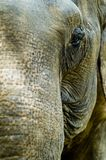 Elephant. A close-up shot of an elephant taken in Thailand Royalty Free Stock Image