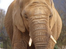 Elephant. Head and skin close up Royalty Free Stock Photo