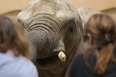Elephant. Framed by two out of focus girls Royalty Free Stock Photography