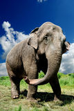 Elephant. Closeup against blue sky stock photography