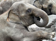Elephant. Young elephant bull profile with rolled up trunk in his mouth Stock Image