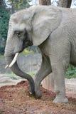Elephant 15 Stock Images