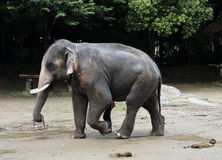 Elephant. Big elephant walking and carrying a small basket Royalty Free Stock Images