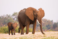 Elephant. With calf, South Luangwa, Zambia Stock Image