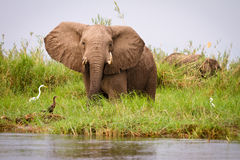 Elephant. Wild Elephants on river bank, Lower Zambezi, Zambia royalty free stock images