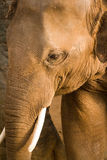 Elephant. An Elephant walks alongside a mud wall stock images