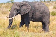 Free Elephant Royalty Free Stock Photos - 19517238