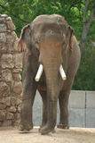 Elephant 2. Front view of elepant with tusks stock images