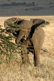 Elephant 2. Elepant flapping its ears while eating from tree in Serengeti National Park, Tanzania stock photo