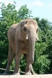 Elephant. An front view of an elephant Stock Images