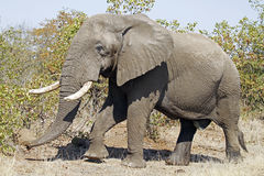 Elephant. Walking next to road in kruger park Royalty Free Stock Photography