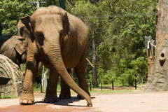 Elephant. An elephant walking fast swaying trunk Royalty Free Stock Photography