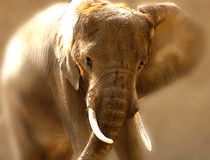 Elephant. Bull Elephant royalty free stock photography