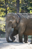 Elephant. Indian elephant enjoys a dust bath royalty free stock photo