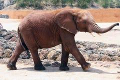 Free Elephant Royalty Free Stock Image - 21507286