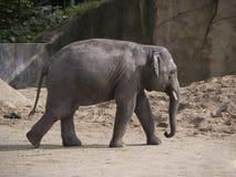 Free Elephant Royalty Free Stock Photography - 21737787