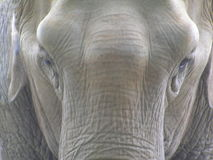 Elephant. Close up of an elephant Stock Photography
