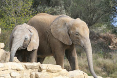 Elephant. African Elephant with a little elephant Royalty Free Stock Photography