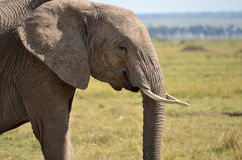 Elephant Stock Images