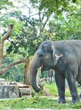 Elephant. Eating grass at zoo Royalty Free Stock Images