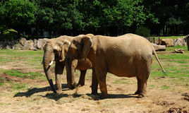Elephant. Two elephants at the zoo Royalty Free Stock Photos