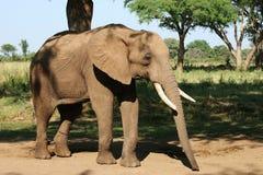 Elephant. African Elephant in Zimbabwe Royalty Free Stock Photo